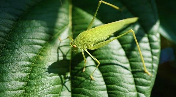 la-piaga-delle-locuste-in-africa-orientale