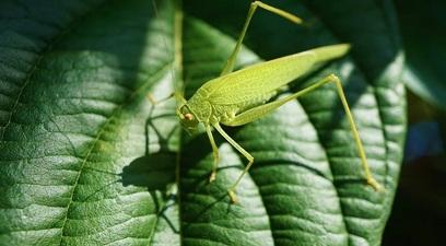 La piaga delle locuste in africa orientale