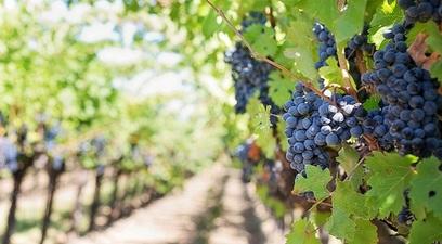 Grapes 553462 1280